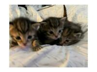 GORGEOUS TABBY AND GINGER 3 WEEK OLD KITTENS FOR SALE!!