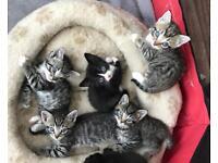 Beautiful silver tabby cross Bengal kittens
