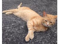 male ginger cat free to good home