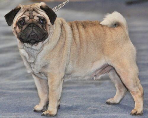 Dog Breed Mailbox - Pug Fawn