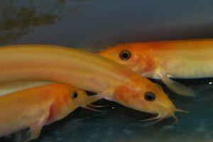 Golden Weather Loach Misgurnus anguillicaudatus. Live Cold Water Aquarium Fish