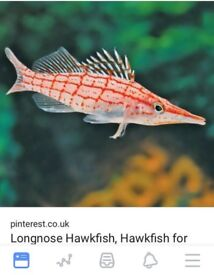 Hawk fish marine