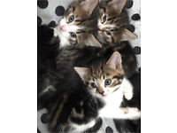 Kittens for sale (