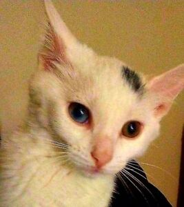 Lost White Siamese Cat