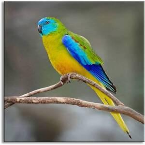 Turquoisine (Turk) Parrots Wattle Grove Kalamunda Area Preview