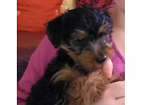 Yorkshire Terrier Boy Puppy for sale
