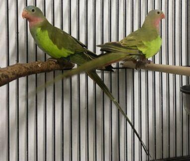 Princess Parrot pair