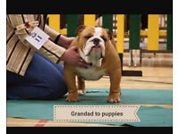 Outstanding litter of show line bred bulldog puppies for sale