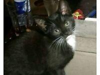 Adorable black and white tabby kitten