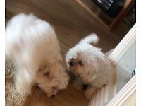 Two Maltease Bichon Frise Puppies