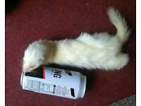 Stunning micro ferrets x