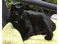 MISSING in Llanelli, Chapman Street - Stewart Street area, black male cat