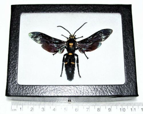 REAL FRAMED MEGASCOLIA PROCER MALE HORNET WASP INDONESIA