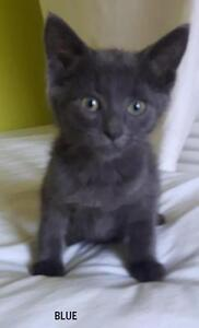 "Baby Male Cat - Domestic Short Hair-Russian Blue: ""Blue"""