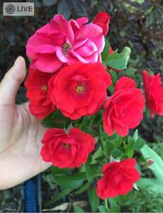 Organic garden plants for sale Clontarf Redcliffe Area Preview
