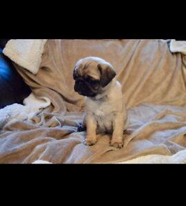 Pug Puppy's 1 Female available