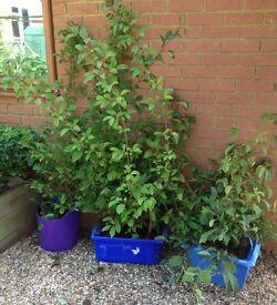 Viburnum plants for sale