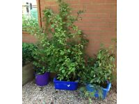 Viburnum plants for sale