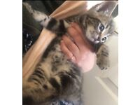 Beautiful grey and brown kitten