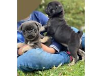 Stunning Black and Tan and blue and tan pug puppies