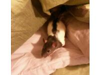 Two male rats looking for a new home
