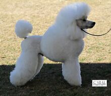 Stunning White Miniature poodle puppies with Champion bloodlines Caboolture Caboolture Area Preview