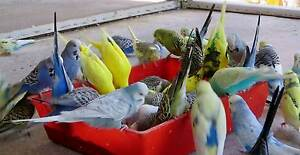 BUDGIES, QUALITY ENGLISH BLOODLINES lots of colours Bundaberg North Bundaberg City Preview
