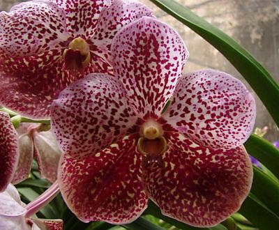 Orchid Vanda Madame Rattana Boris …. Stock #260-5 for sale  Shipping to Canada