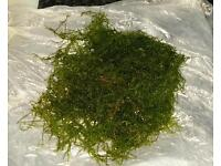 Moss for tropical fish tanks