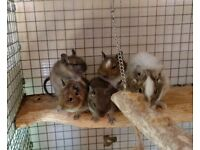 4 Young Male Degus For Sale