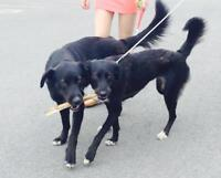 2 chiens labrador husky perdus noir