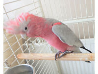 talking baby galah cockatoo 4 months old ,comes with large cage