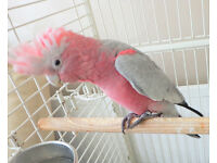 talking baby galah cockatoo 4 months old ,comes with large cage.
