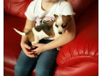 Male teacup chihuahua for sale kennel reg