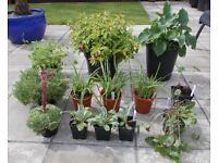 Instant Garden - Lot 1 - 13 x Hardy Garden Plants in Pots + 3 Xtra FREE - £30 - Glenrothes