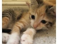 Mixed breed kittens vet checked
