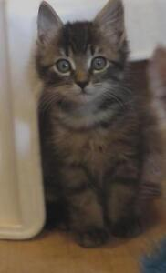 "Baby Male Cat - Maine Coon-Tabby - Brown: ""Marcus"""