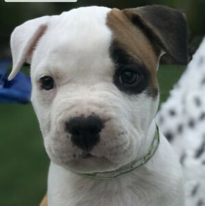 💥 American Staffordshire terrier puppies 💥