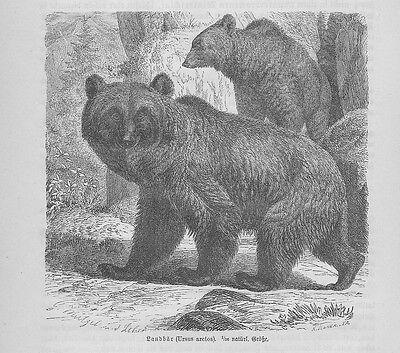 Landbär Braunbär Ursus arctos Bär Bäeren Holzstich von 1891