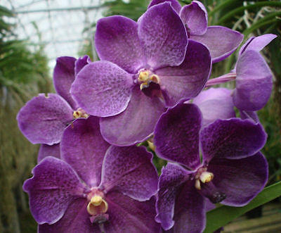Vanda Pures Wax Blue Bernt .. Stock #279-12 for sale  Shipping to Canada
