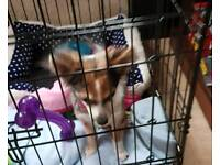 9 month Female Chiweenie For Sale