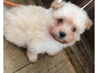 2 POM'CHI PUPPIES **ForSale