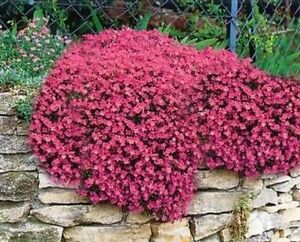 5 RED AUBRIETIA MINI PLUG PLANTS ALPINE ROCK GARDEN PLANT PERENNIAL