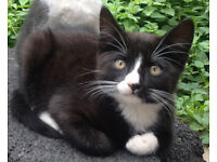 Kitten Male 9/10 week old Black and White