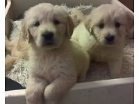 Excellent Pedigree Golden Retriever Puppies