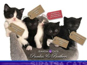 SCOTTISH FOLD & SHORTHAIR KITTENS Only one left! REDUCED!