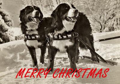 BERNESE MOUNTAIN DOG SINGLE DOG PRINT GREETING CHRISTMAS CARD