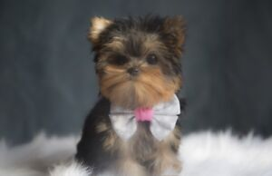 Doll faced Micro *Teacup*Toy* Yorkie Puppies