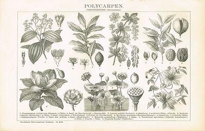 Botanische Tafel ZIMT / LORBEER / MAGNOLIE / MUSKAT / LOTOS 1895 Orig.-Holzstich