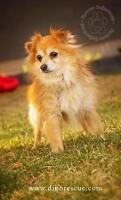 "Adult Male Dog - Pomeranian-Chihuahua: ""Koda"""